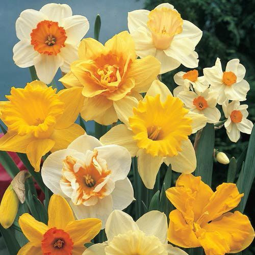 Beautiful Welsh Daffodils